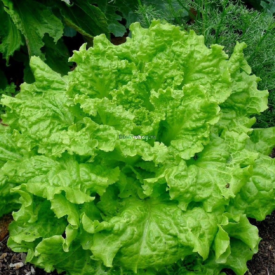 "Organic ""Black Seeded Simpson"" Lettuce Seeds - Heirloom Lettuces:An old time favorite, the Heirloom Black-Seeded Simpson is considered by many to be the #1 leaf lettuce variety. This variety is among the easiest of the leaf lettuce cultivars to grow, and it produces strong yields from seed. In addition to its delicious and complex taste, it is also a steady grower even in warmer climates."